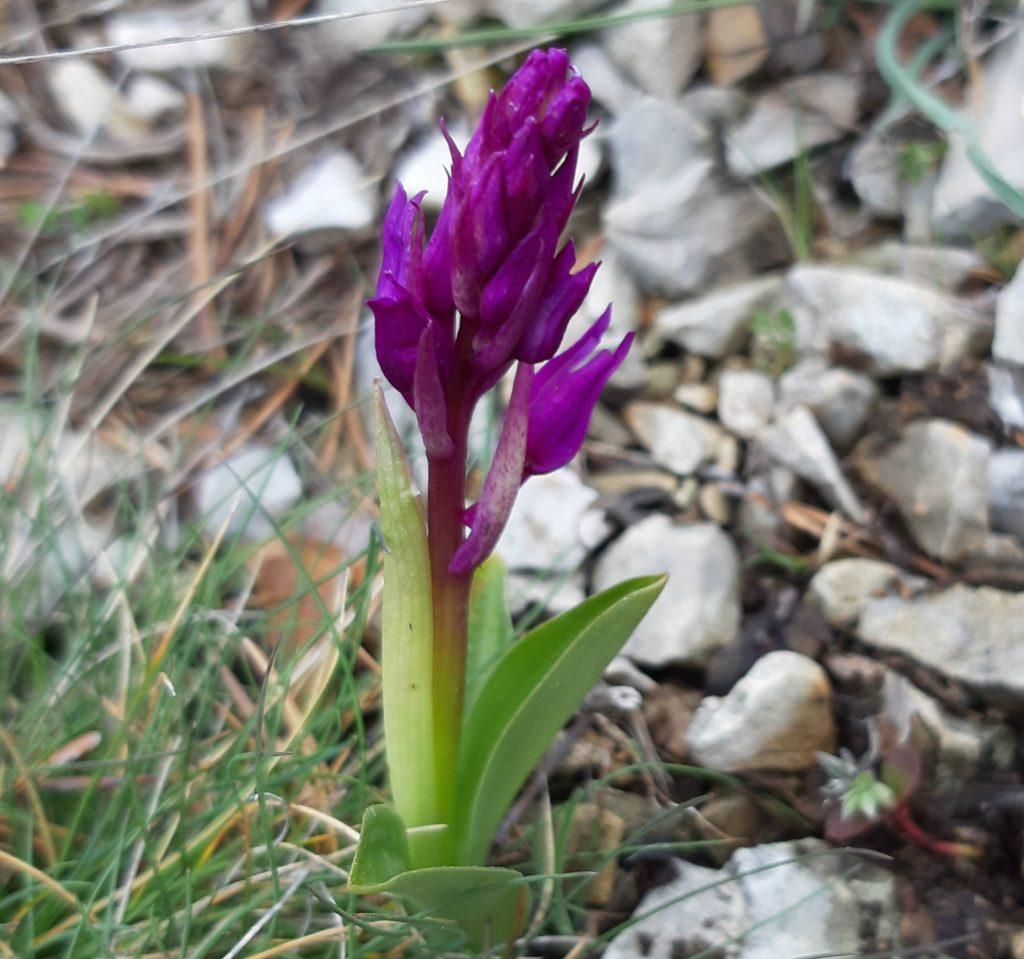 Phyto-résonance, Orchis bouffon, Anacamptis morio